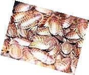 100 Mixed Size Dubia Roaches by WestCoastRoaches.com