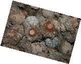 100  Sawtooth Oak Acorn W/Caps Crafts Holiday Decor
