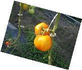 100 Tomato Support J hooks trellis garden vegetable hook