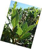 Laurus nobilis - 'Bay Leaf Tree'  - Bay Laurel or Sweet Bay