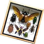 Real Insect Rare Insects Display Taxidermy in Wood Box