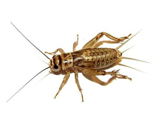 100 Live Small  Crickets  by BuyFeederCrickets