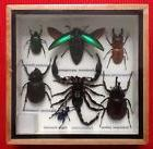 7 INSECT DISPLAY SCORPION STAG BEETLE CICADA TAXIDERMY