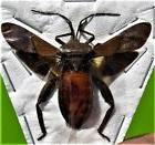 Interesting Hemiptera sp. True Insect Spread FAST SHIP FROM USA