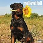 Rottweilers 2017 16 Month Wall Calendar 12 x 12 inches